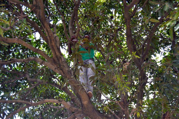 Subido a un mango