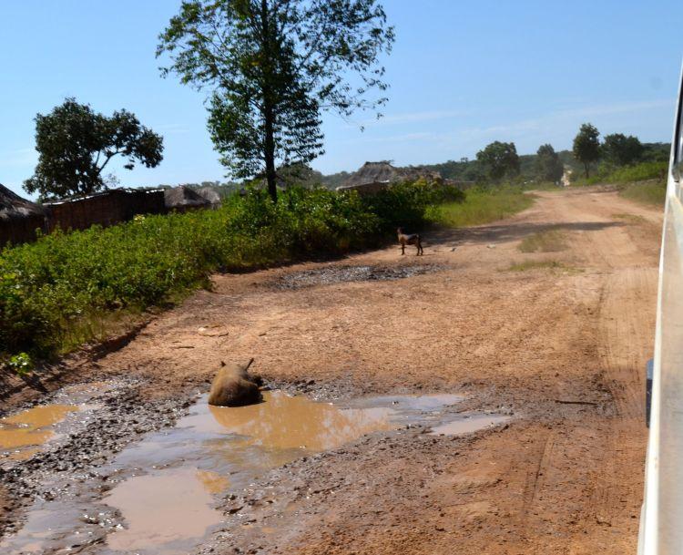 Un cerdo en la carretera