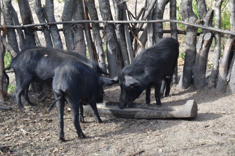 Cerdos en Calenga