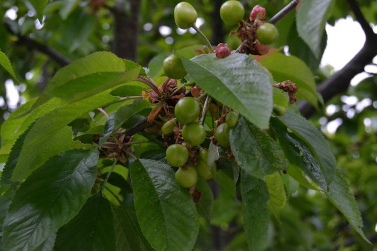 Probablemente las mejores cerezas del mundo. solo les falta madurar.