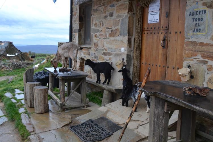 Las cabras del Albergue Monte Irago