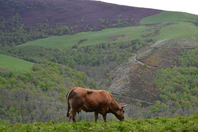 Una vaca en Filloval