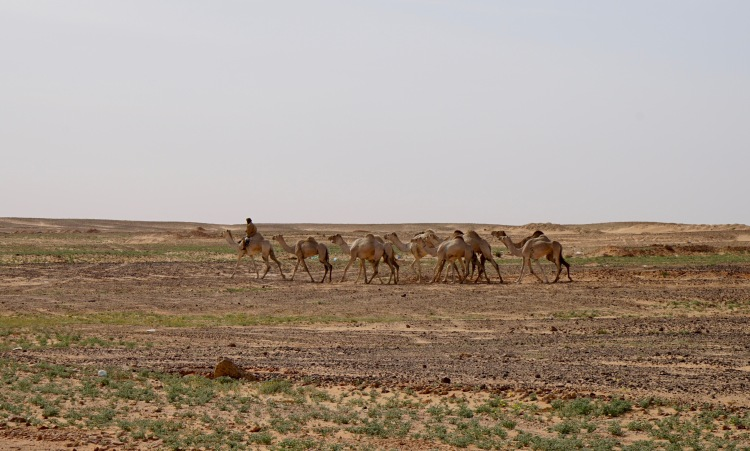 Camellos a la salida de Rabuni